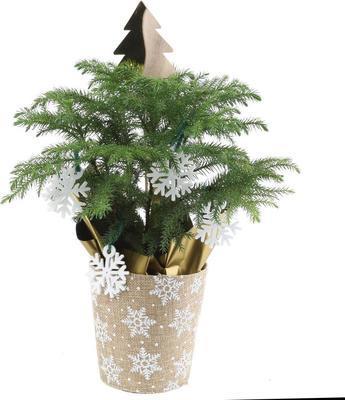 Costa Farms 4 In. Fresh Norfolk Island Pine In Burlap Pot