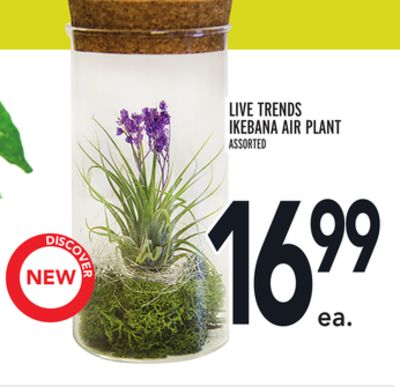 LIVE TRENDS IKEBANA AIR PLANT