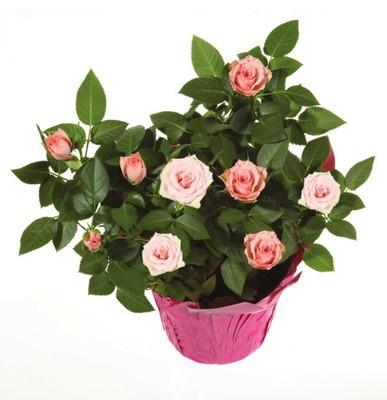 Miniature Rose-Bush
