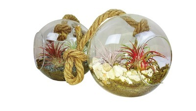 TILLANDSIA | TILLANDSIA IN GLASS BALL