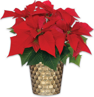 POINSETTIA UPGRADE
