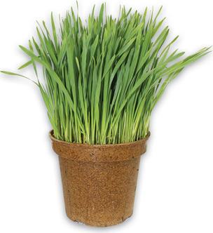 ORGANIC WHEATGRASS PLANT