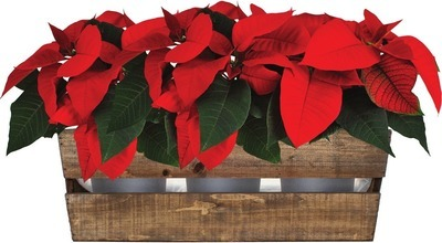 WOODEN WINE BOX POINSETTIA