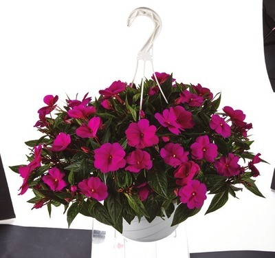 ANNUAL HANGING BASKETS