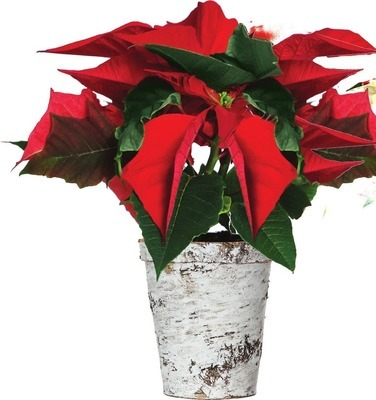 POINSETTIA IN BIRCH POT