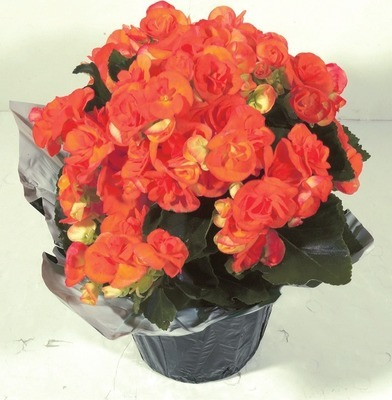 BEGONIA PLANT OR SPRING BULBS