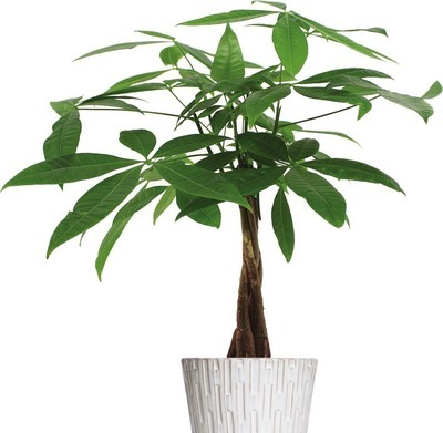 "MONEY TREE 5"" CERAMIC POT"