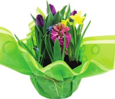 SPRING BULBS IN BOWL